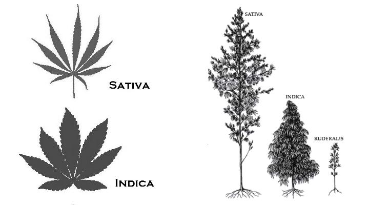 indica-vs-sativa-02-06-191
